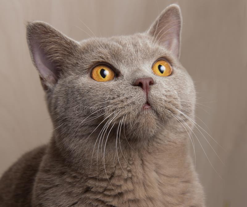 Gatto grigio britannico, museruola alzata, occhi gialli vicino su fotografia stock
