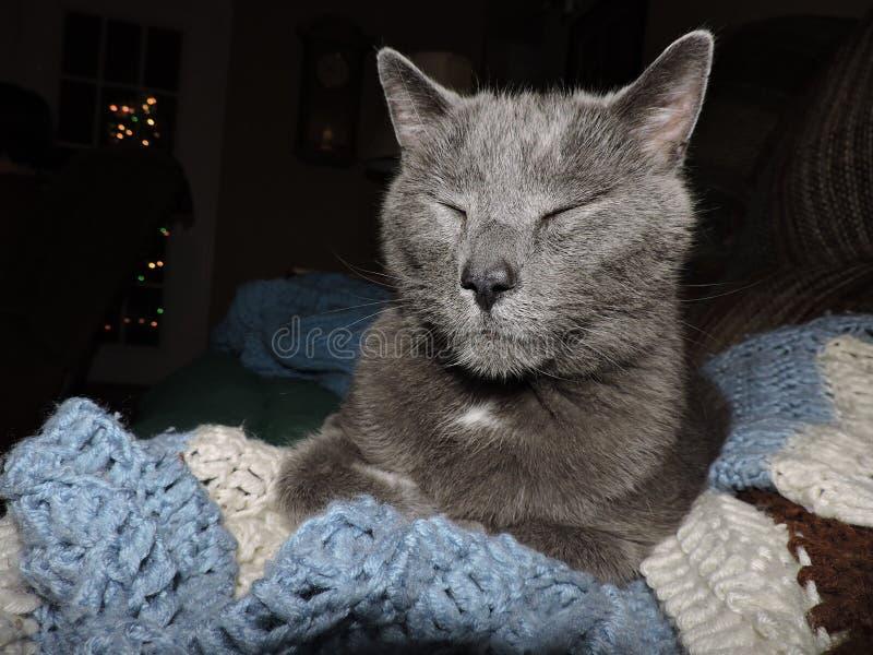 Gatto grigio che sembra sereno fotografia stock