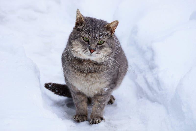 Gatto grigio che si siede nella neve su un sentiero per pedoni nella via immagini stock
