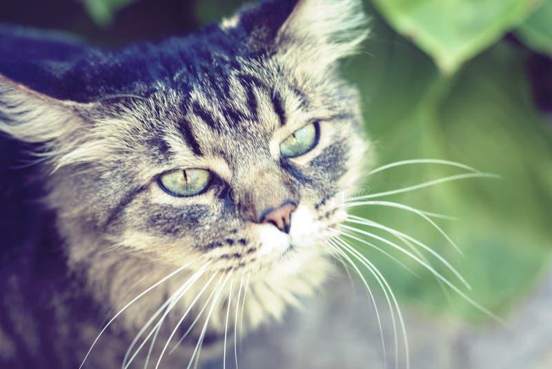 Gatto grigio con gli occhi verdi nella fine del giardino su immagini stock libere da diritti