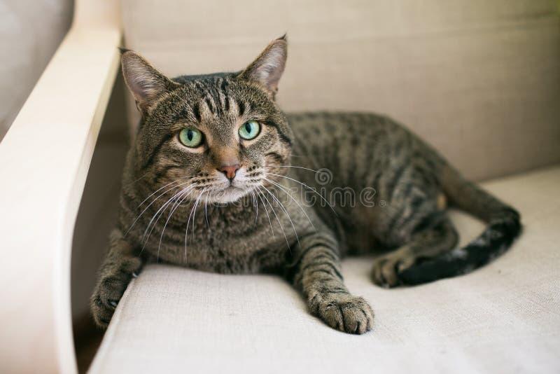 Gatto grigio con gli occhi verdi immagini stock libere da diritti