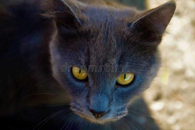Gatto grigio con i bei occhi fotografia stock libera da diritti