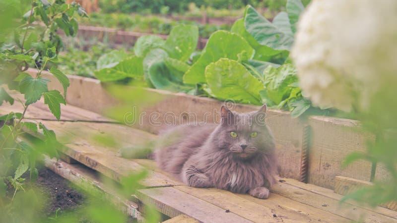 Gatto grigio con lo sguardo saggio fotografie stock libere da diritti