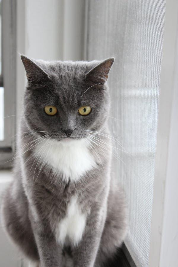 Gatto grigio dalla finestra immagini stock libere da diritti