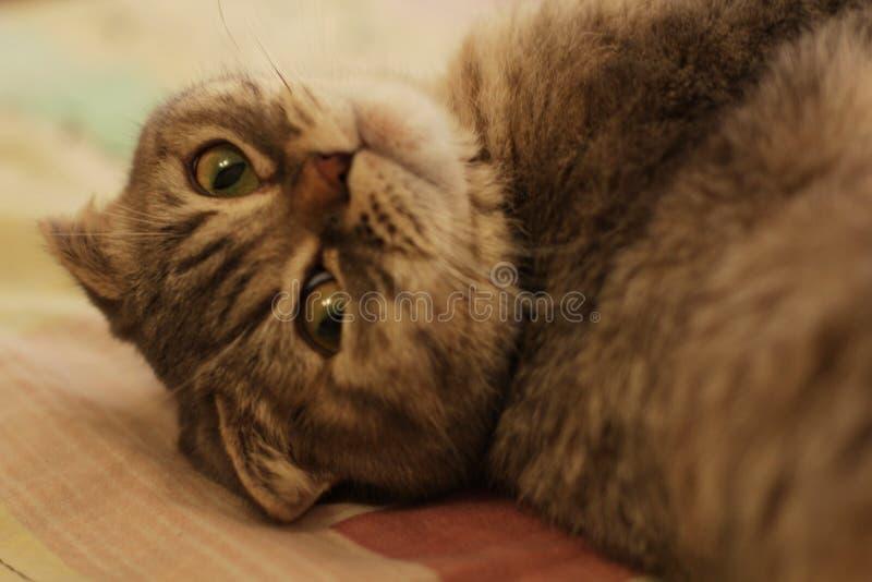 Gatto grigio del bello popolare scozzese a casa fotografia stock