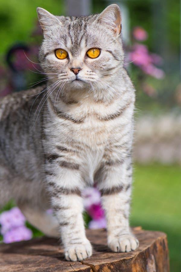Gatto grigio dello shorthair di britannici del soriano in un giardino fotografia stock libera da diritti