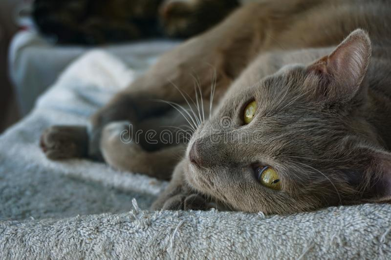 Gatto grigio dolce che si rilassa, fuoco dell'animale domestico del primo piano sul fronte immagini stock