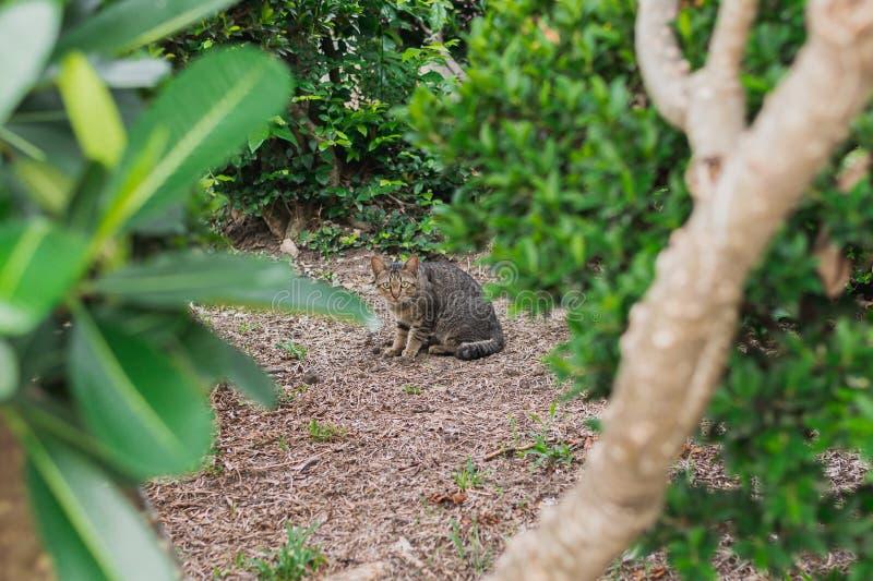 Gatto grigio domestico che si nasconde dietro gli alberi nel giardino fotografie stock libere da diritti