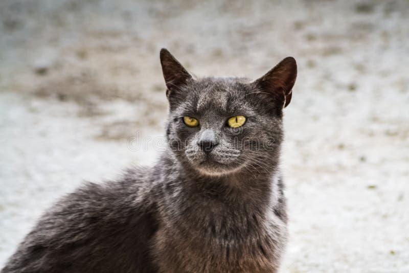 Gatto grigio e sguardo arrabbiato fotografia stock