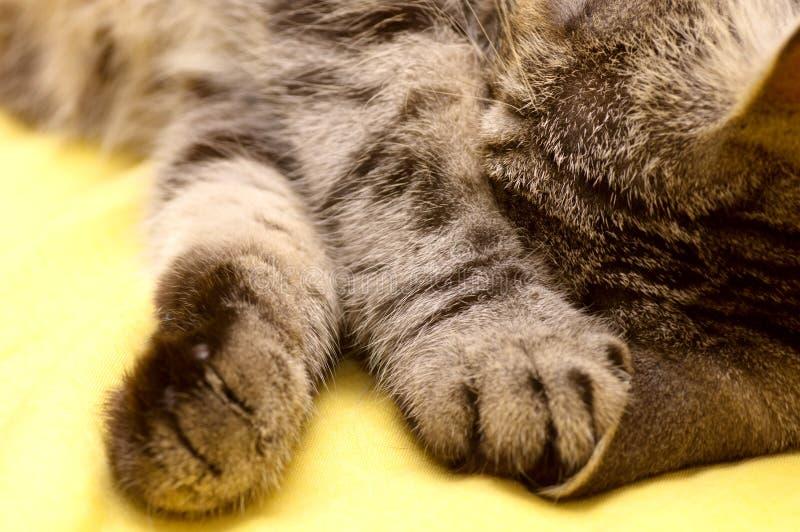 gatto grigio Scozzese-diritto immagini stock libere da diritti