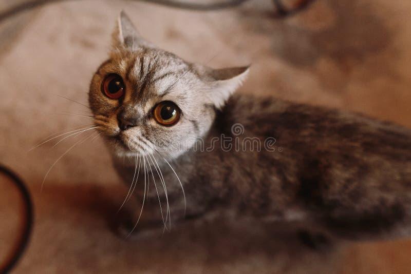 Gatto grigio sveglio che cerca nella camera di albergo prima delle nozze, piccole fotografie stock libere da diritti