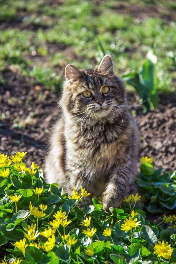 Gatto lanuginoso che gioca nel giardino Ritratto del gatto lanuginoso in giardino Gatto e molla fotografie stock libere da diritti