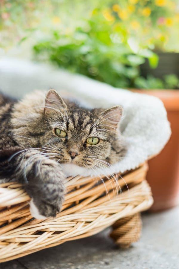 Gatto lanuginoso che si trova nella sedia di vimini sul terrazzo del giardino, all'aperto fotografia stock libera da diritti