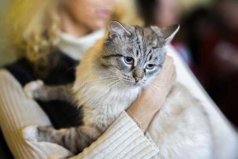 Gatto lanuginoso leggero spaventato in mani del volontario della ragazza, nel riparo per gli animali senza tetto Il gattino avrà  fotografie stock