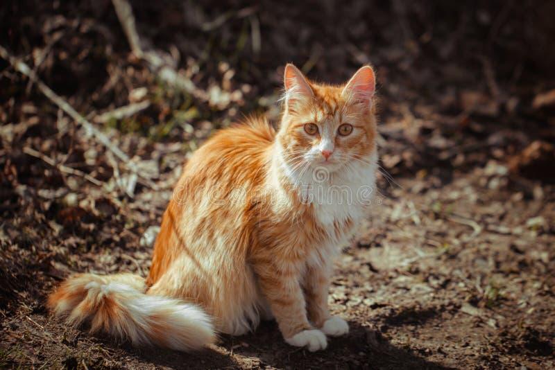 Gatto lanuginoso a strisce di rosso che si siede sulla terra Un giovane gatto smarrito con lo zenzero e la pelliccia bianca Un ga fotografia stock