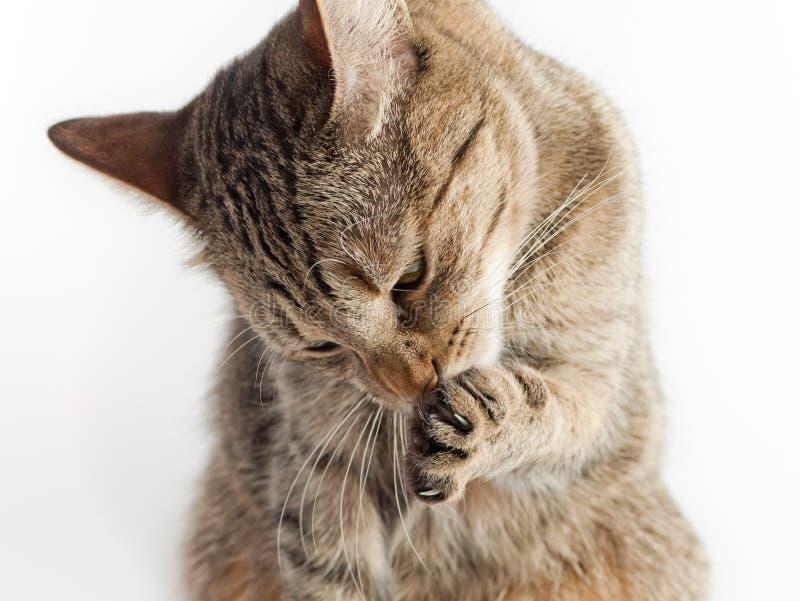 Gatto, leccantesi pulito immagine stock