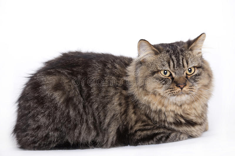 Gatto, longhair britannico immagini stock