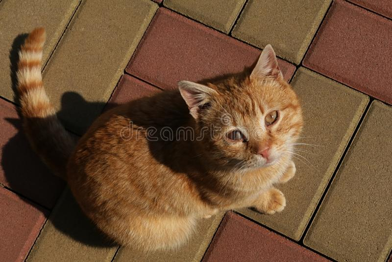Gatto malato a strisce sexy maschio sulle pietre rosse e gialle del ile con la malattia di ascesso sul suo occhio giusto, cercant immagine stock