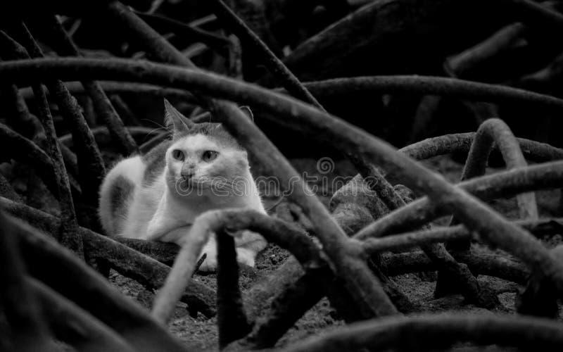 Gatto in mangrovia fotografie stock