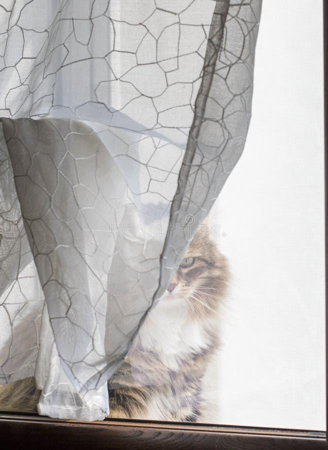 Gatto marrone adorabile della razza siberiana dietro la tenda della finestra, soriano marrone fotografia stock