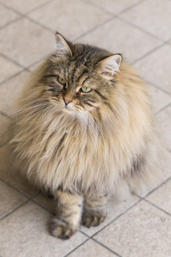 Gatto maschio marrone che cerca nel giardino, purosangue siberiano di bellezza fotografia stock