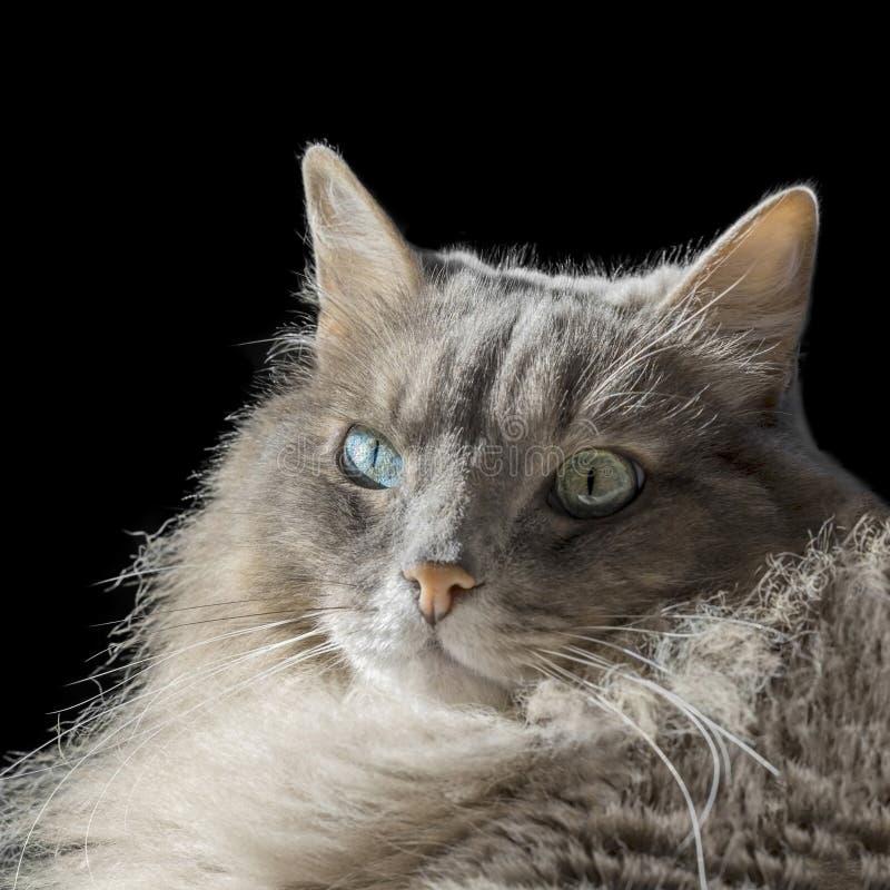 Gatto maschio siberiano di angora con gli occhi dispari fotografia stock libera da diritti