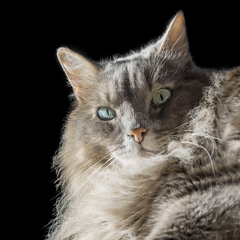 Gatto maschio siberiano di angora con gli occhi dispari immagini stock libere da diritti
