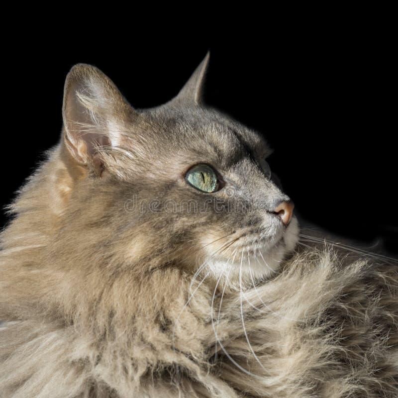 Gatto maschio siberiano di angora con gli occhi dispari immagine stock libera da diritti