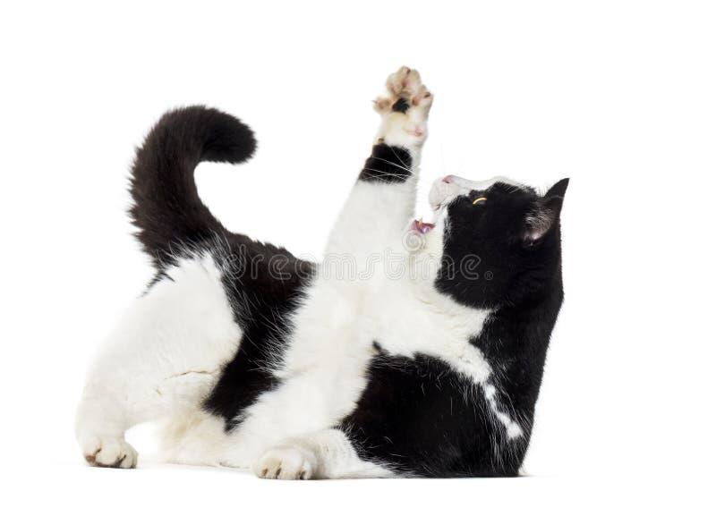 Gatto misto della razza che raggiunge su contro il fondo bianco fotografia stock libera da diritti
