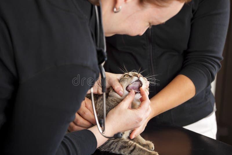 Gatto nazionale che è esaminato al veterinario fotografia stock libera da diritti