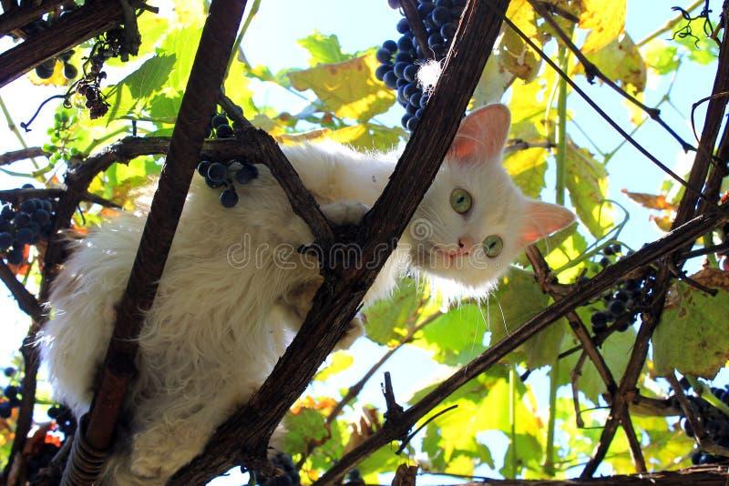 Gatto nei rami dell'uva fotografia stock