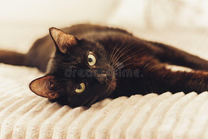 Gatto nero che si trova sulla copertura grigia della pelliccia sul letto fotografia stock