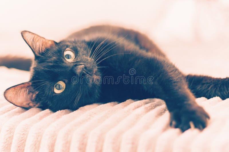 Gatto nero che si trova sulla copertura grigia della pelliccia sul letto immagine stock libera da diritti