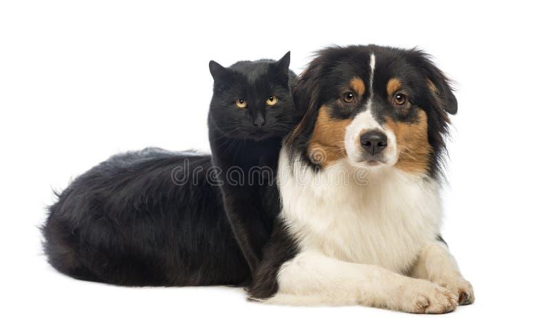 Gatto nero che sta sopra una menzogne australiana del pastore fotografia stock