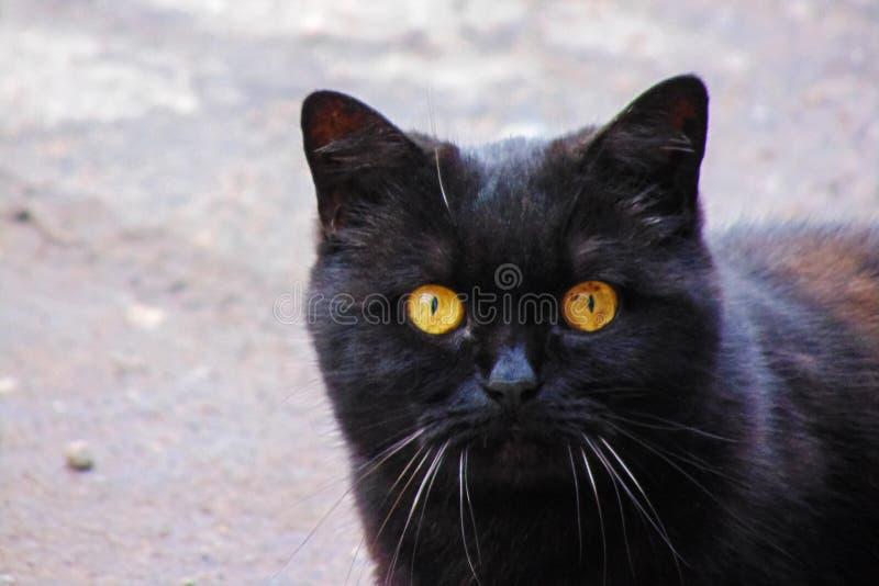Gatto nero con gli occhi gialli, ritratto del primo piano fotografie stock