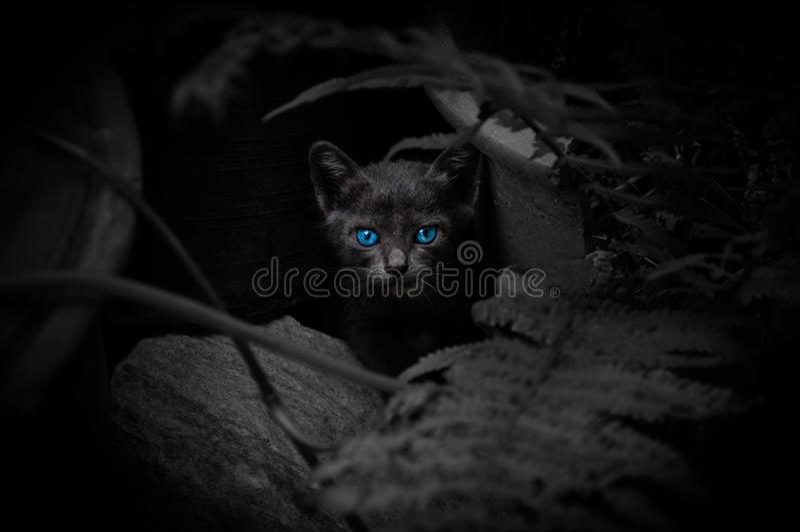 Gatto nero con i bei occhi azzurri fotografie stock