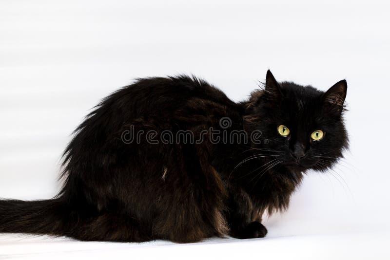Gatto nero della razza Bombay fotografia stock
