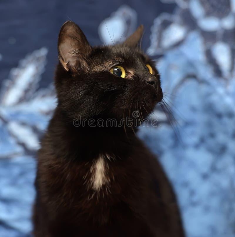 Gatto nero di Bombay con una piccola macchietta sul petto fotografie stock
