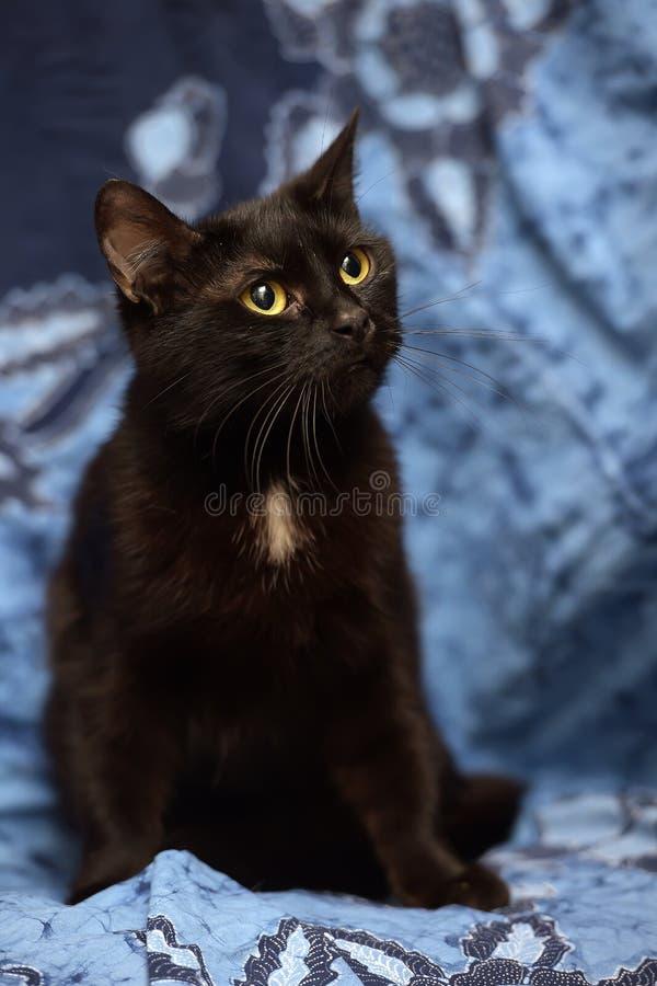 Gatto nero di Bombay con una piccola macchietta sul petto immagini stock