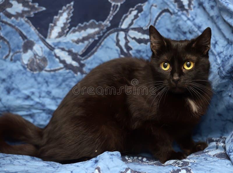 Gatto nero di Bombay con una piccola macchietta sul petto fotografia stock libera da diritti