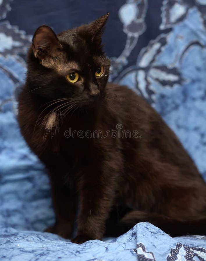 Gatto nero di Bombay con una piccola macchietta sul petto immagine stock libera da diritti