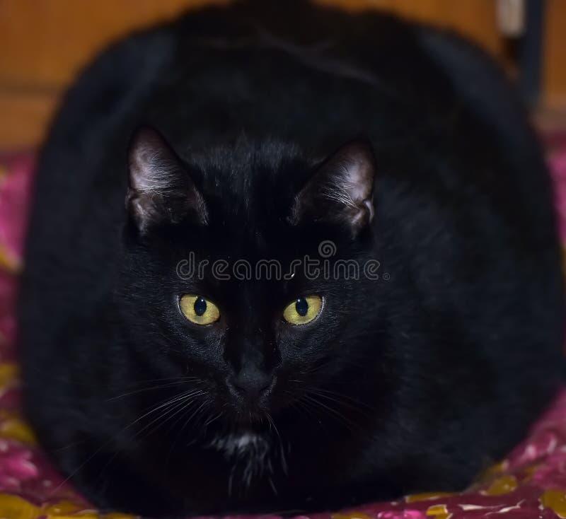 Gatto nero grasso con gli occhi gialli fotografie stock