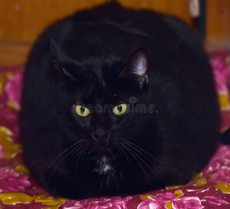 Gatto nero grasso con gli occhi gialli fotografie stock libere da diritti