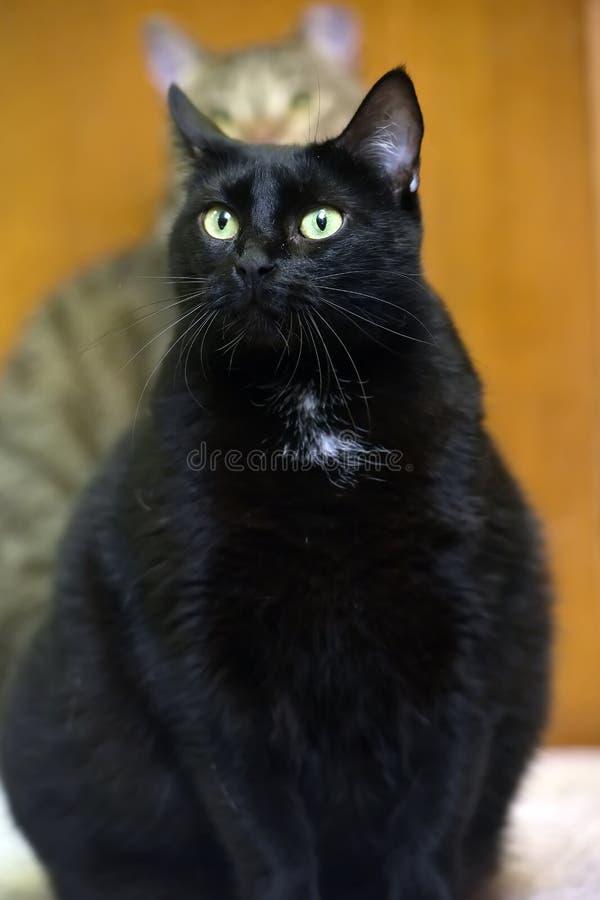 Gatto nero grasso con gli occhi gialli fotografia stock libera da diritti