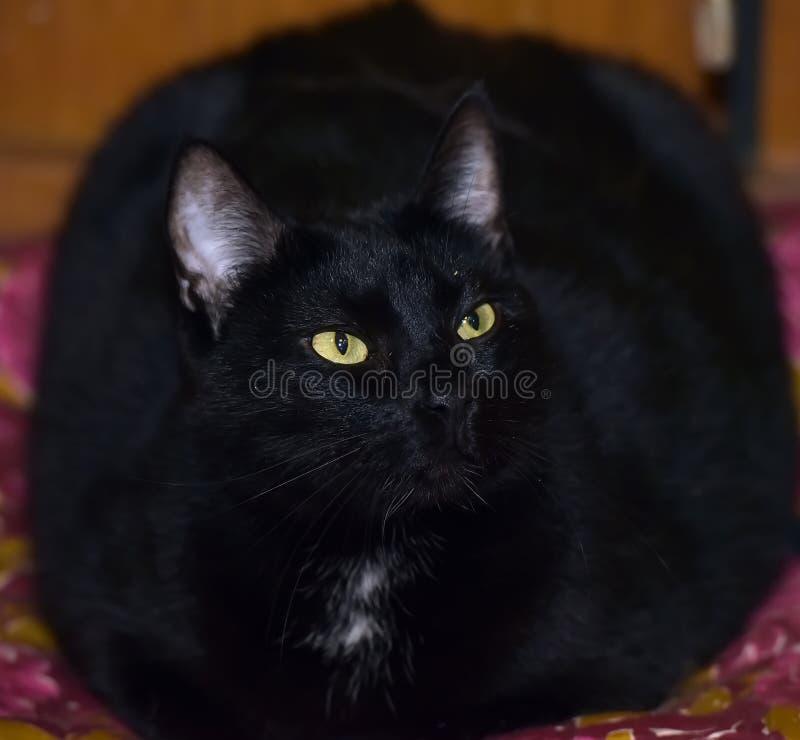 Gatto nero grasso con gli occhi gialli fotografia stock