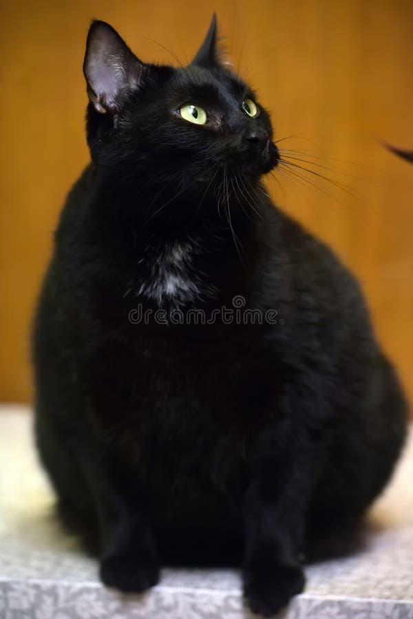 Gatto nero grasso con gli occhi gialli immagini stock libere da diritti