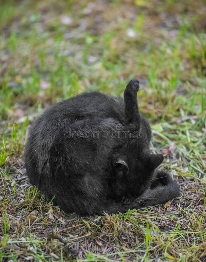 Gatto nero selvaggio che lecca le sue palle sull'erba fotografie stock
