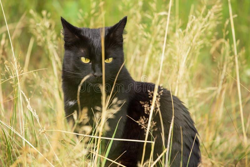 Gatto nero serio di Bombay all'aperto in erba in natura, spazio della copia immagini stock
