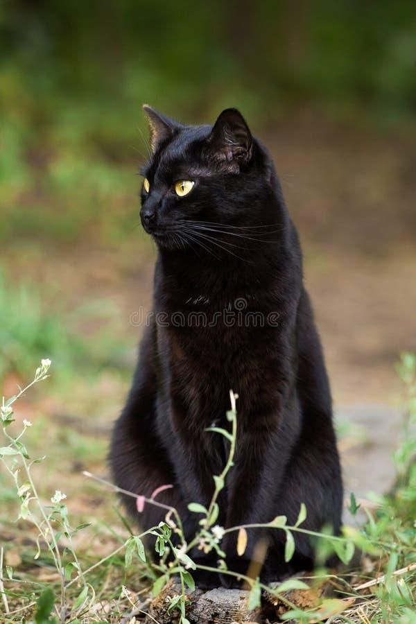 Gatto nero serio di Bombay con il ritratto giallo degli occhi all'aperto fotografia stock