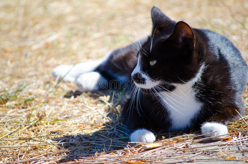 Gatto nero sveglio con il momento di rilassamento del fronte bianco sulla terra all'aperto immagine stock libera da diritti